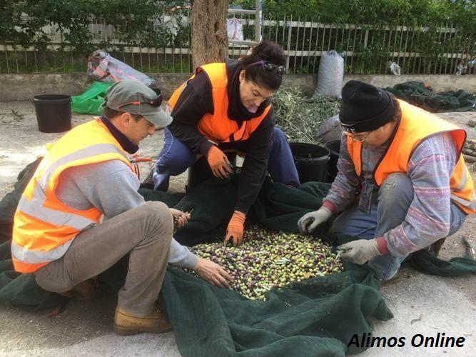 Συνεχίζεται το «μάζεμα ελιάς» ώστε να γίνει λάδι και να δοθεί στο Κοινωνικό Παντοπωλείο Αλίμου