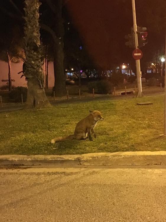 Αλεπουδίτσα κατέβηκε για βόλτα πολύ κοντά στη πλαζ της Βουλιαγμένης