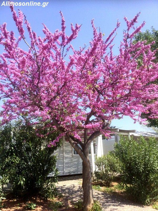 Το «Δέντρο του Ιούδα» της Μαρίνας Αλίμου – Πόσα γνωρίζετε για αυτό