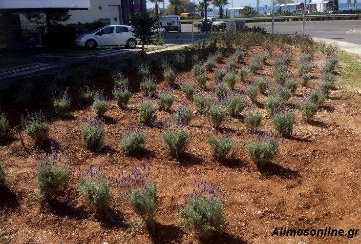 Φυτεύτηκαν μικροί θάμνοι λεβάντας δενδρολίβανου στη Λ. Αλίμου