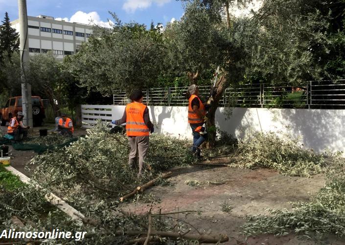 Συνεχίζεται το μάζεμα ελιάς από τα δέντρα του Αλίμου