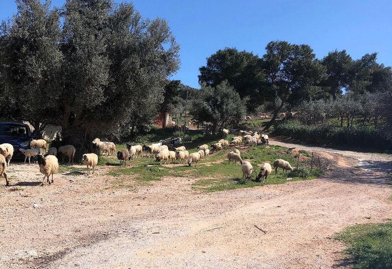 Προβατάκια στο Κόρμπυ Βάρης