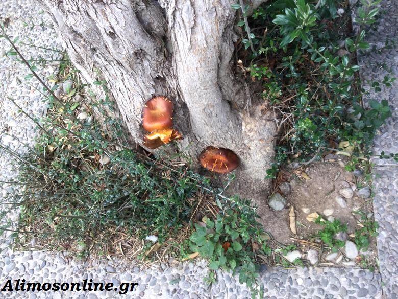 Δηλητηριώδη μανιτάρια σε δρόμους του Αλίμου