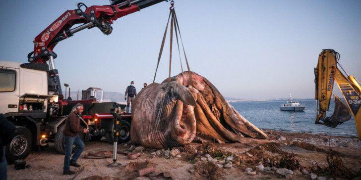 Παρέμβαση της WWF για τη νεκρή φάλαινα στον Πειραιά
