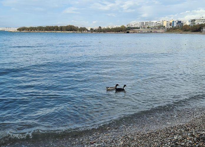 Οι πάπιες που «βολτάρουν» στο Β Αλίπεδο του Αλίμου
