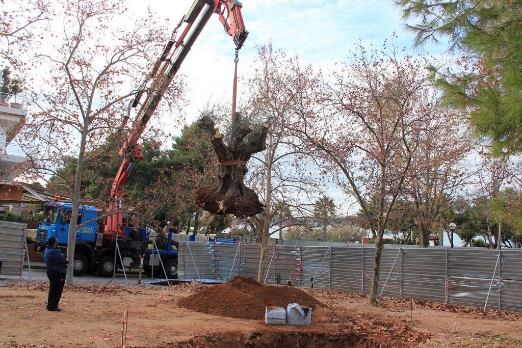 Η υπερονόβια ελιά που φυτεύτηκε στη Βουλιαγμένη