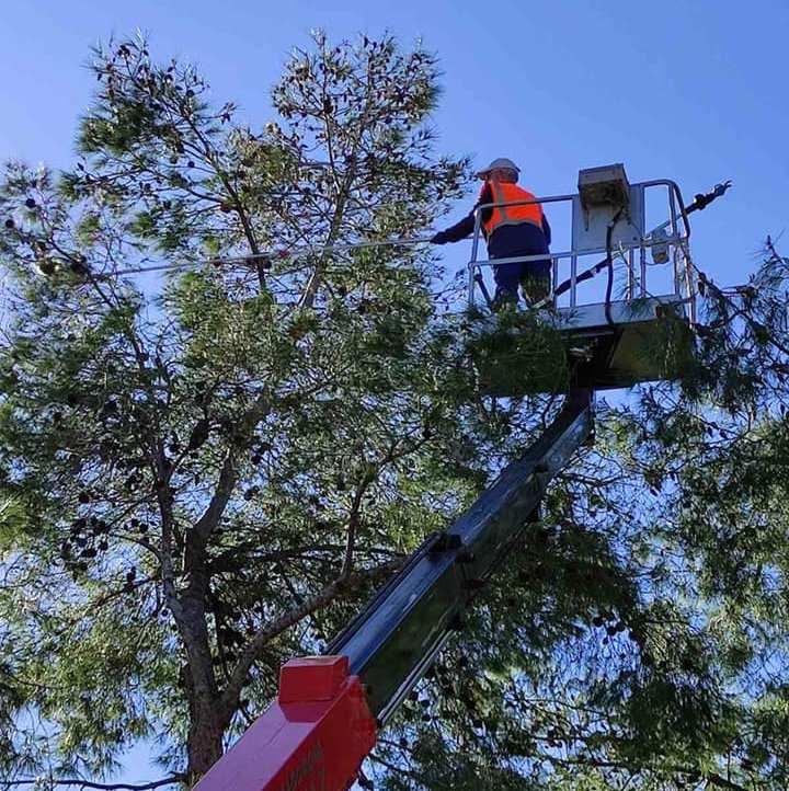 Συνεχίζονται οι καθαρισμοί των πεύκων για τις κάμπιες
