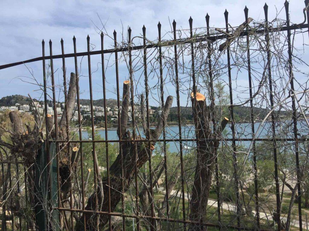 Ποινική δίωξη του δήμου Βάρης Βούλας Βουλιαγμένης για το αυθαίρετο και παράνομο κλάδεμα 42 δέντρων