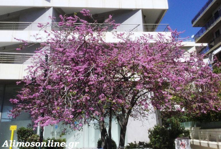 Γνωρίζετε για το «Δέντρο του Ιούδα»;