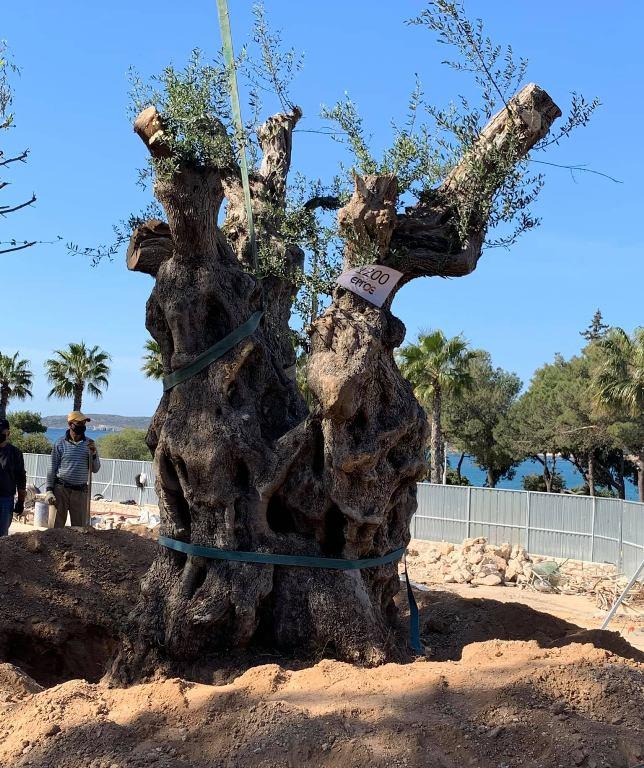 Μία ελιά 1.400 ετών βρίσκεται από χθες στη Βουλιαγμένη
