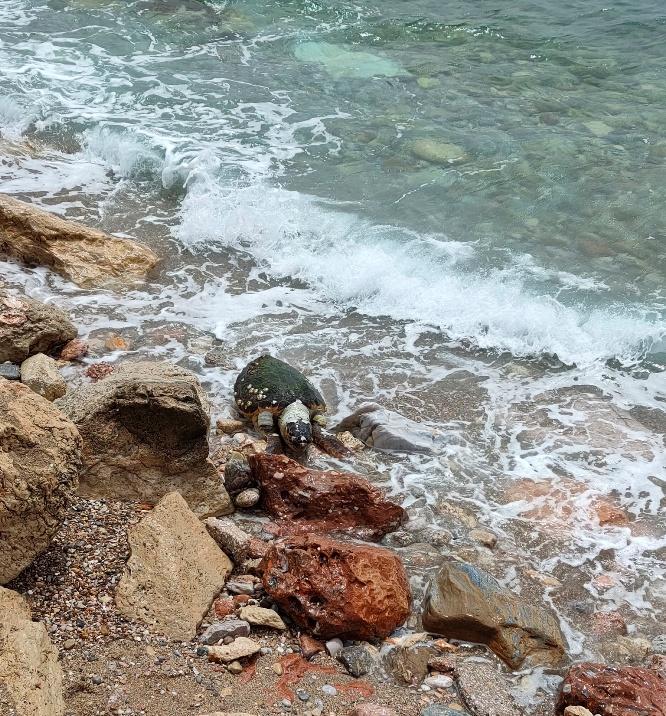 Νεκρή θαλάσσια χελώνα στην παραλία Αλίμου