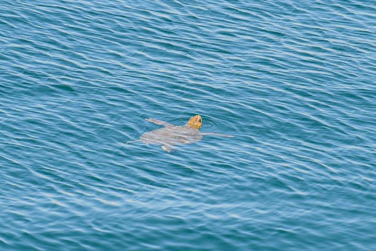Μία θαλάσσια χελώνα στη Μαρίνα Φλοίσβου