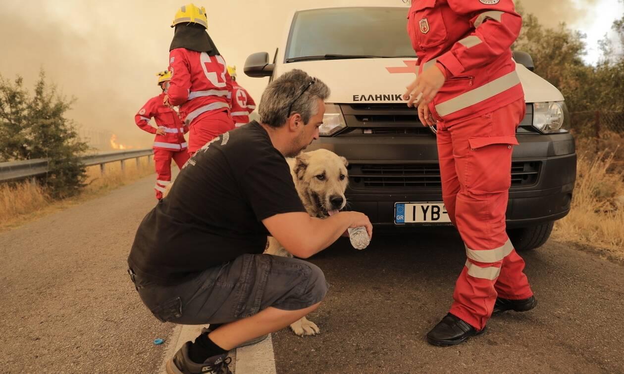 Τεράστια είναι η κινητοποιήση εθελοντών για τη διάσωση των ζώων