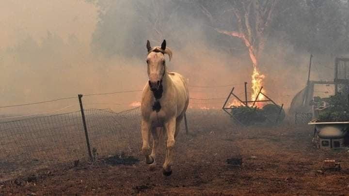 Σώθηκαν όλα τα άλογα που κινδύνευσαν από τη φωτιά της Βαρυμπόμπης