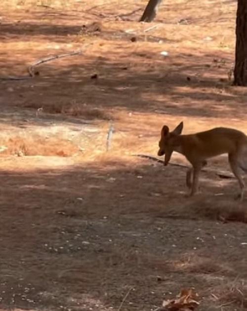 Αλεπούδες εθεάθησαν στο Πανόραμα Βούλας αναζητώντας νερό και τροφή